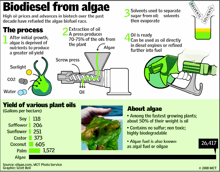 algal biodiesel thesis Several varieties of freshwater and saltwater algae were procured from three different commercial sources all algae cultures received were contaminated with microorganisms (ie, bacteria, fungi, protists) and macroorganisms (ie, worms.